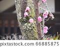 重瓣櫻樹(奈良縣奈良市春日大社/春日野町) 66885875
