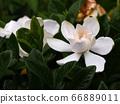 Gardenia flowers and buds 66889011