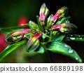 Yurizuisen (bud before flowering) in the rain 66889198