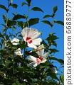 Rainy season sunny sky and white sage 66889777