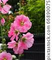 Pink tattooi 66890075