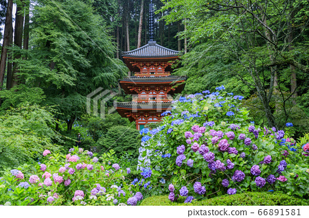岩船寺의 신록과 꽃 수국 66891581