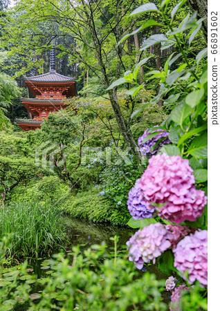 岩船寺의 신록과 꽃 수국 66891602