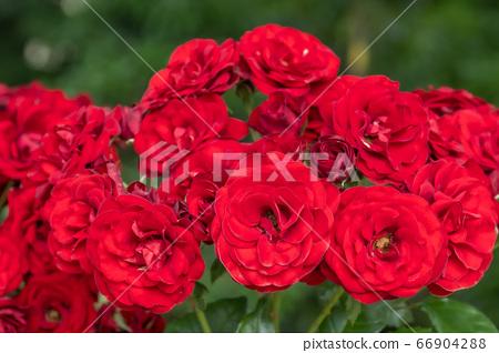 美麗的玫瑰花朵剛剛綻放 66904288