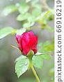 가랑비에 젖은 빨간 장미 꽃 66916219