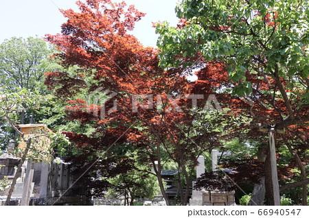 Autumn leaves in Zenkoji 66940547