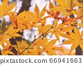 Yellow autumn leaves 66941663