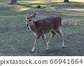 Walking deer 66941664