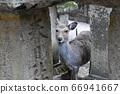 春日神社的鹿 66941667