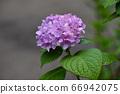 紫色繡球花 66942075