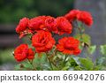 一朵玫瑰 66942076