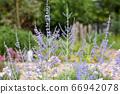 紫色的草藥 66942078