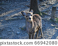 可愛的鹿 66942080