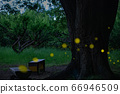 Thick tree and bench where Himebotaru dance 66946509