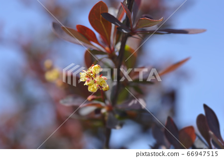 Purple Japanese barberry 66947515