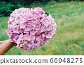 Man holding big bunch of fresh purple hydrangea flowers. 66948275