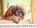 猩猩的思維 66954914