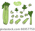 Celery is isolated on a white background. Vector 66957750