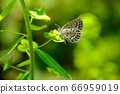 藍蝴蝶蝴蝶棲息在高燈塔的花上 66959019