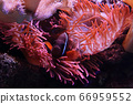 Clown fish in coral thicket 66959552