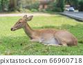deer sleep on green grass in the garden of zoo 66960718