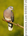 Beautiful european turtle dove sitting on branch in the summer. 66966716