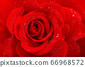 Red rose flower water drops Floral background 66968572