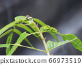 The last instar larva of the swallowtail butterfly (green) and the larva before the last instar (black and white) 66973519