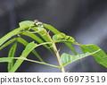 燕尾蝶的最后一个幼虫(绿色)和最后一个幼虫之前的幼虫(黑色和白色) 66973519