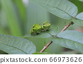 Cute green larva of the swallowtail butterfly 66973626