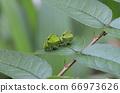 燕尾蝴蝶的可爱绿色幼虫 66973626