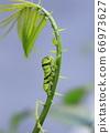 燕尾蝴蝶的可爱绿色幼虫 66973627
