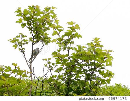 Wild Bird Hototogisu 66974178
