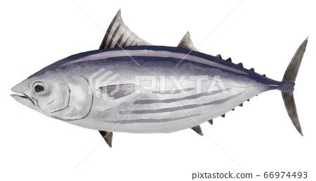 鰹魚圖 66974493