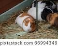 可愛的豚鼠 66994349