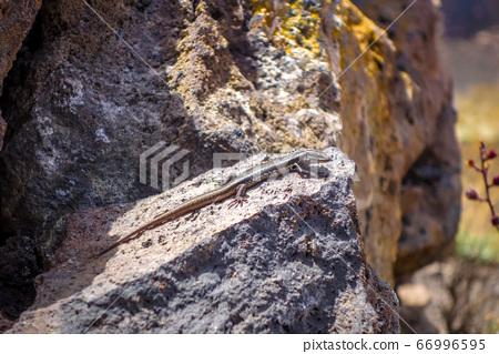 Lizard in Pico do Fogo crater, Cape Verde 66996595