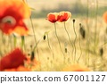 Poppies in the field at sunrise 67001127