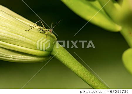Macro Photography of a Cricket Insect on a Bud of Lily Flower 67015733