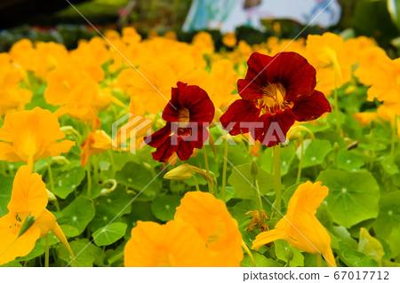 深紅色的金蓮花在黃色的花海中 67017712
