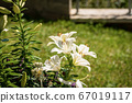 Group of white Lily Flowers in a Garden 67019117