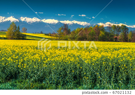 Canola field and high snowy mountains, Fagaras, Carpathians, Transylvania, Romania 67021132