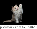 maine coon kitten raising paw 67024823
