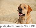 big dog fawn labrador retriever sits in desert on 67027391