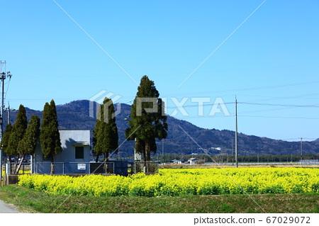 가메 오카의 유채 꽃밭 67029072