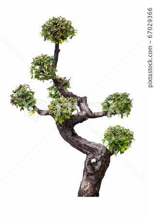 Bonsai tree in garden isolated on white 67029366