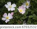 Blooming pink wild rose flower, dog rose, rosa 67032532