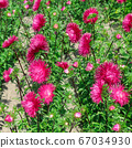Red asters drowning in the greenery of the garden. 67034930