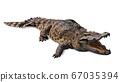 ferocious crocodile lying open mouth wide 67035394