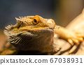 Bearded Dragon ( pogona barbata) 67038931