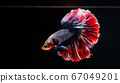 Betta or fight fish are beautifully colored in 67049201